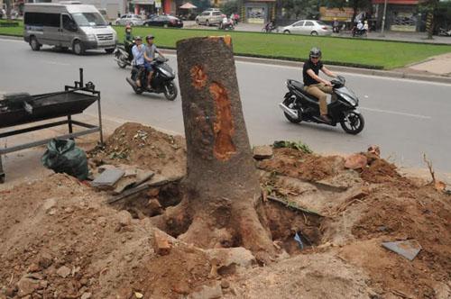 """Cận cảnh """"công trường"""" đốn cây ở Thủ đô - 5"""