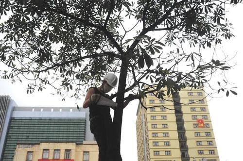 """Cận cảnh """"công trường"""" đốn cây ở Thủ đô - 1"""