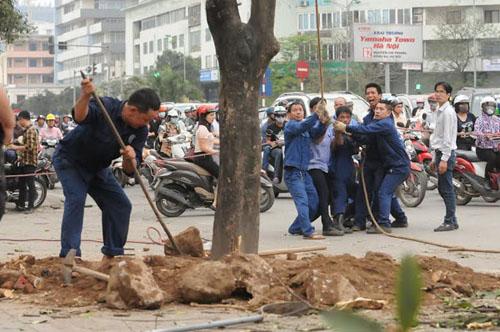 """Cận cảnh """"công trường"""" đốn cây ở Thủ đô - 2"""