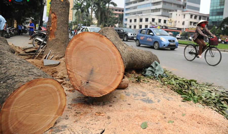 Nhạc sĩ Nguyễn Cường: Tôi nghĩ đây là một cuộc thảm sát cây - 1