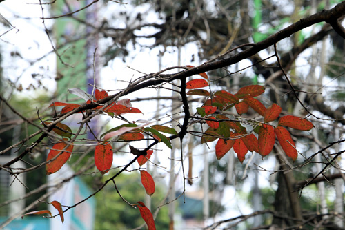 Sắc màu Hà Nội chỉ là hoài niệm nếu 6.700 cây bị đốn hạ - 13