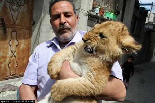 Nuôi 2 chú sư tử làm thú cưng cho con chơi đùa - 2