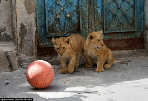 Nuôi 2 chú sư tử làm thú cưng cho con chơi đùa - 5