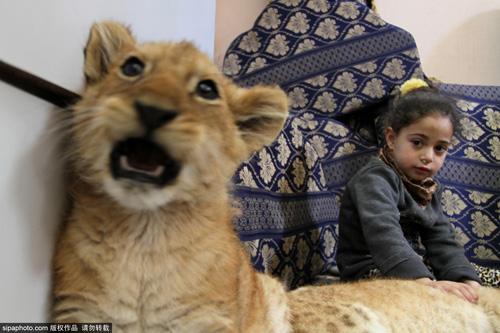 Nuôi 2 chú sư tử làm thú cưng cho con chơi đùa - 4