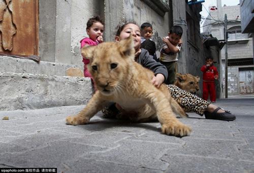 Nuôi 2 chú sư tử làm thú cưng cho con chơi đùa - 9