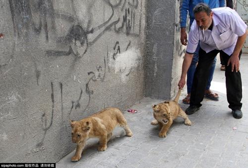 Nuôi 2 chú sư tử làm thú cưng cho con chơi đùa - 13