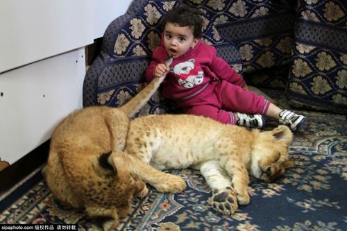 Nuôi 2 chú sư tử làm thú cưng cho con chơi đùa - 11