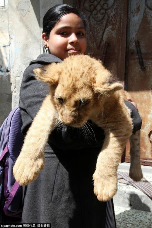 Nuôi 2 chú sư tử làm thú cưng cho con chơi đùa - 12
