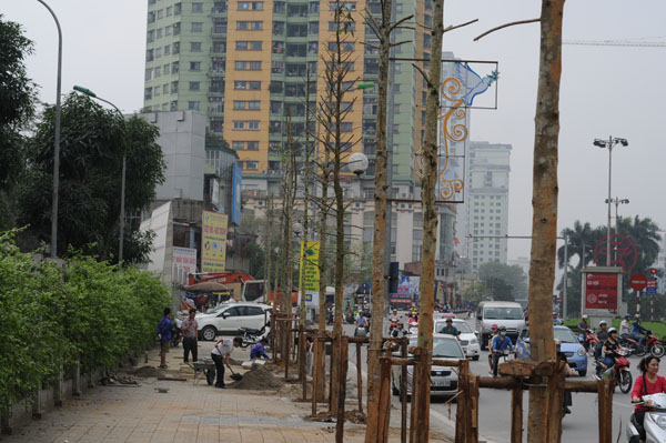 """Chọn Vàng tâm, Hà Nội """"trồng nhầm"""" cây """"gỗ bút chì""""? - 1"""