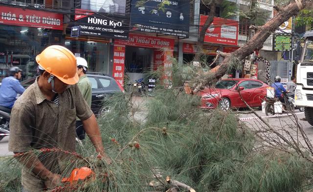 Hàng chục cây xanh nhiều năm tuổi ở Hạ Long bị đốn hạ - 2