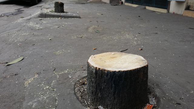 Hàng chục cây xanh nhiều năm tuổi ở Hạ Long bị đốn hạ - 6