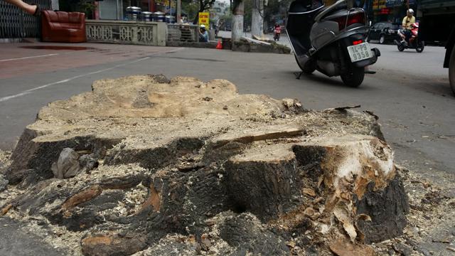 Hàng chục cây xanh nhiều năm tuổi ở Hạ Long bị đốn hạ - 5