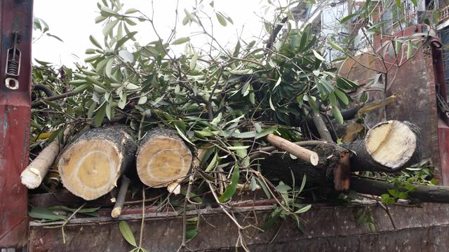 Hàng chục cây xanh nhiều năm tuổi ở Hạ Long bị đốn hạ - 3