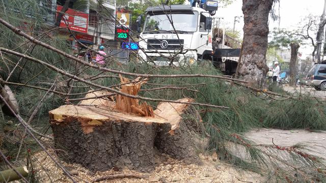 Hàng chục cây xanh nhiều năm tuổi ở Hạ Long bị đốn hạ - 7
