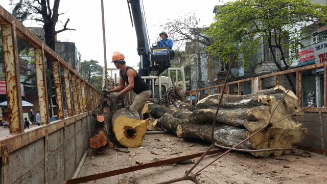 Hàng chục cây xanh nhiều năm tuổi ở Hạ Long bị đốn hạ - 4