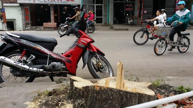 Hàng chục cây xanh nhiều năm tuổi ở Hạ Long bị đốn hạ - 8