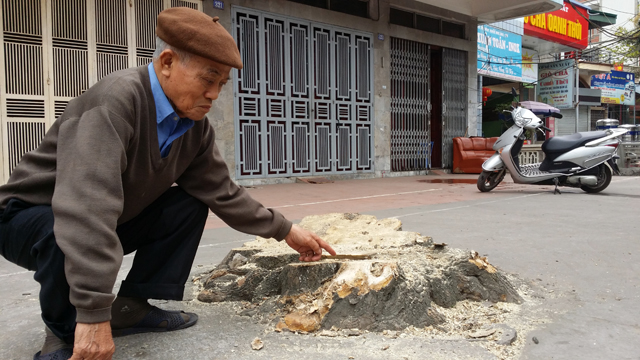 Hàng chục cây xanh nhiều năm tuổi ở Hạ Long bị đốn hạ - 9