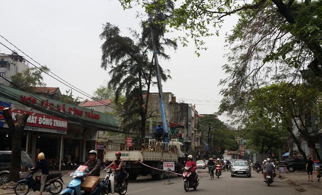 Hàng chục cây xanh nhiều năm tuổi ở Hạ Long bị đốn hạ - 11