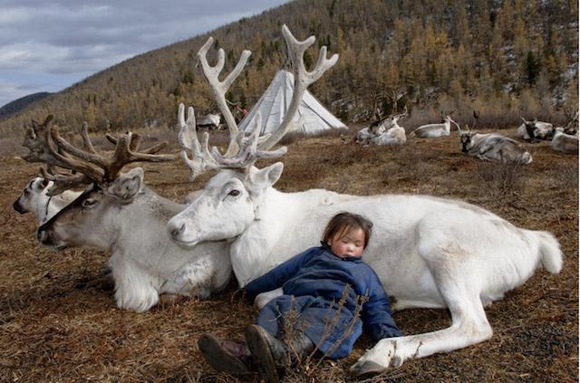 Một em bé người Dukha ngủ say sưa giữa các chú tuần lộc trắng.