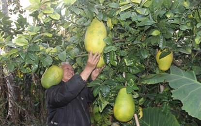 """Những trái to quả """"khủng"""" siêu """"độc"""" trên đất Việt - 5"""