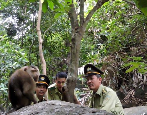 """Đà Nẵng: Bắt được cá thể khỉ """"làm loạn"""" trên đỉnh Bàn Cờ - 2"""