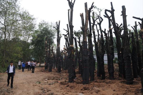 """Vụ 6700 cây xanh: """"Không có chuyện bán gỗ ra ngoài"""" - 1"""