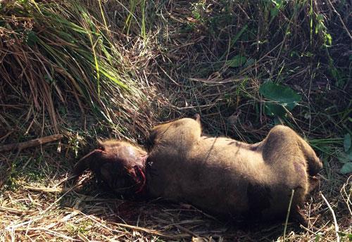 Phát hiện một con voi chết bị mất da và đế chân - 1