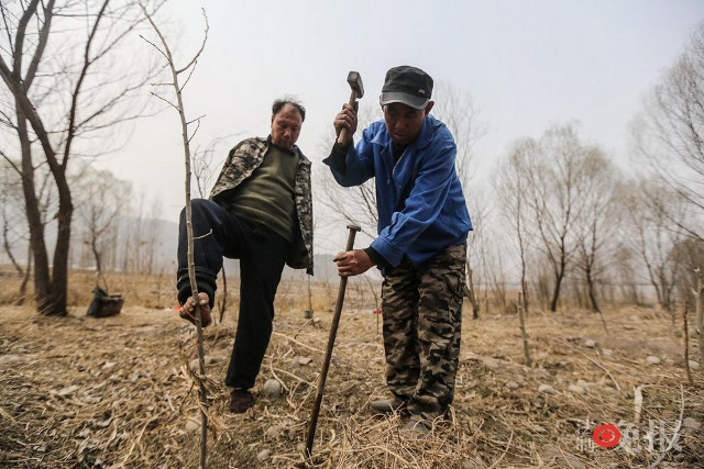 TQ: Lão cụt dắt lão mù trồng 10.000 cây bảo vệ làng - 9