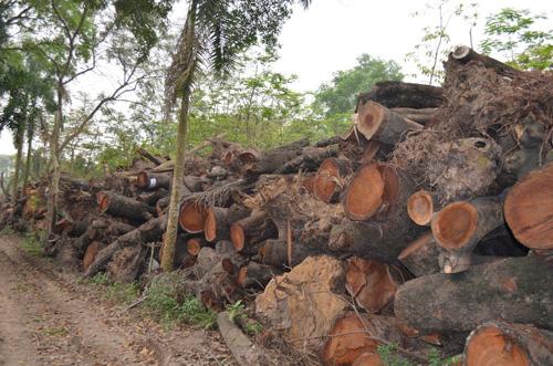"""Vụ chặt cây: """"Nói tiền bán gỗ hàng trăm tỷ là không có cơ sở"""" - 1"""