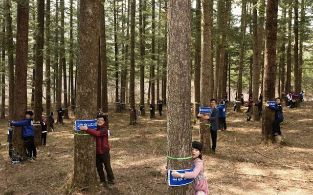 """Ôm cây- """"chiêu độc"""" bảo vệ cây xanh ở Hàn Quốc - 1"""