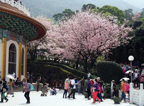 Đắm chìm trong sắc hoa anh đào nở rộ khắp châu Á - 3