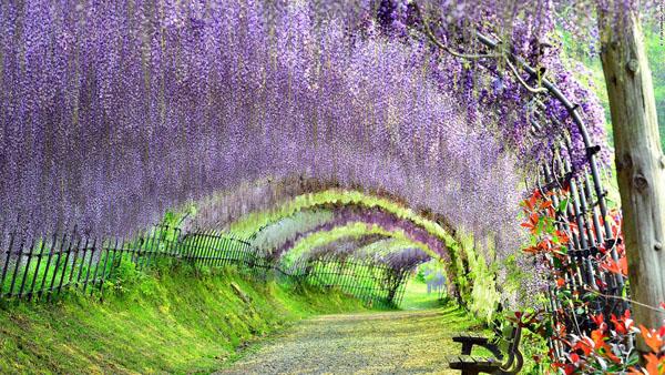 Vườn hoa Kawachi Fuji, Fukuoka, Nhật Bản. Vườn hoa có nhiều màu sắc khác nhau, trông giống như cảnh tượng thiên nhiên tuyệt đẹp trong một bức tranh sơn dầu hơn là một công viên. Những thác hoa dài buông xuống, tỏa sắc màu lộng lẫy và hương hoa thơm ngát.