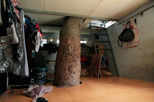 HN: Cây đâm xuyên nhà, vẫn quyết giữ dù được trả trăm triệu - 6