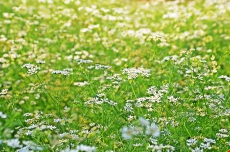 Về xứ công tử Bạc Liêu ngắm hoa cải nở vàng bến sông - 4