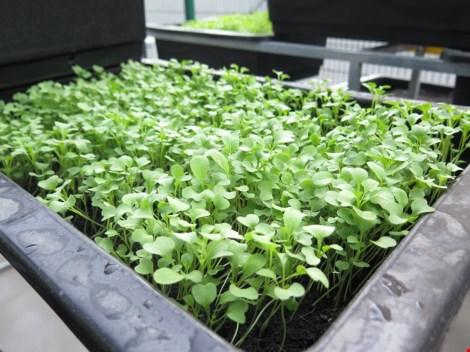 Thêm một trường học làm vườn rau sạch cho học sinh - 3