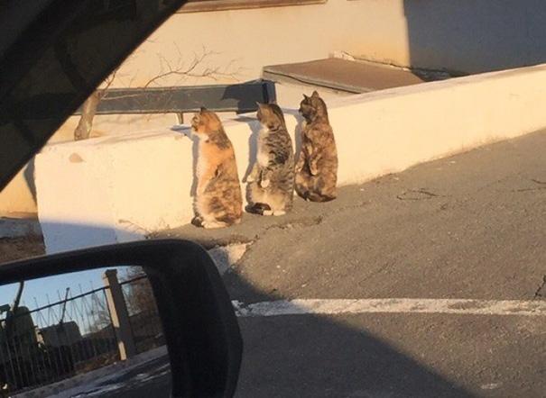 Thích thú với 3 chú mèo đứng bằng hai chân - 1