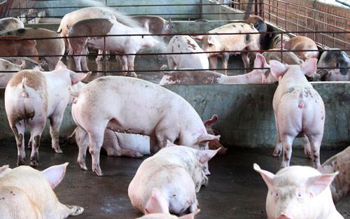 Khống chế hoàn toàn nguồn cung chất cấm cho chăn nuôi!? - 1