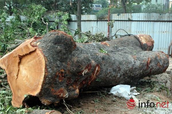 Hà Nội: Loạt cây cổ thụ đường Láng chính thức bị đốn hạ - 10