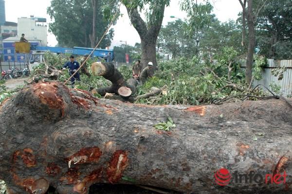 Hà Nội: Loạt cây cổ thụ đường Láng chính thức bị đốn hạ - 11