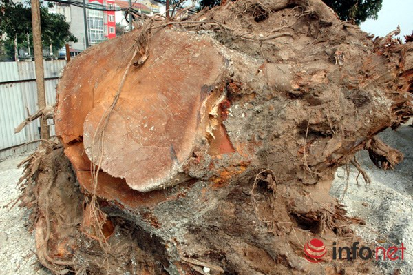 Hà Nội: Loạt cây cổ thụ đường Láng chính thức bị đốn hạ - 13