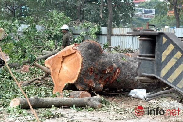 Hà Nội: Loạt cây cổ thụ đường Láng chính thức bị đốn hạ - 15