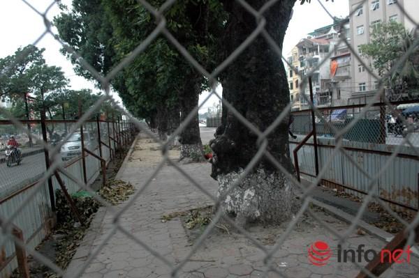 Hà Nội: Loạt cây cổ thụ đường Láng chính thức bị đốn hạ - 3