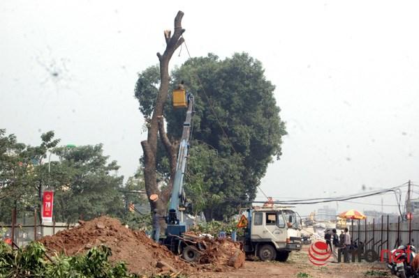 Hà Nội: Loạt cây cổ thụ đường Láng chính thức bị đốn hạ - 4