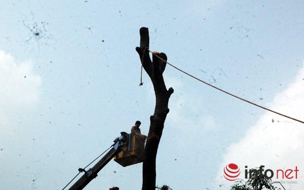 Hà Nội: Loạt cây cổ thụ đường Láng chính thức bị đốn hạ - 5