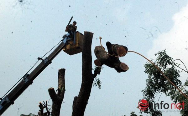 Hà Nội: Loạt cây cổ thụ đường Láng chính thức bị đốn hạ - 6