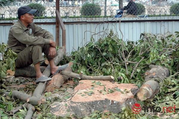 Hà Nội: Loạt cây cổ thụ đường Láng chính thức bị đốn hạ - 7