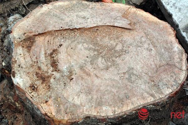 Hà Nội: Loạt cây cổ thụ đường Láng chính thức bị đốn hạ - 8