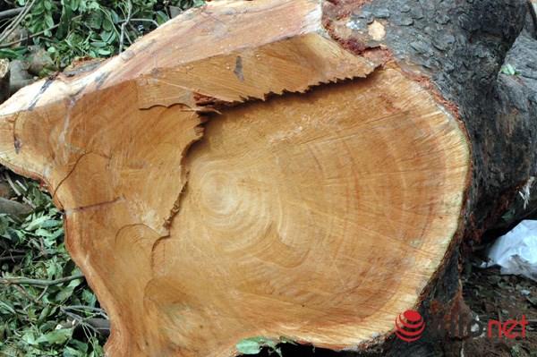 Hà Nội: Loạt cây cổ thụ đường Láng chính thức bị đốn hạ - 9
