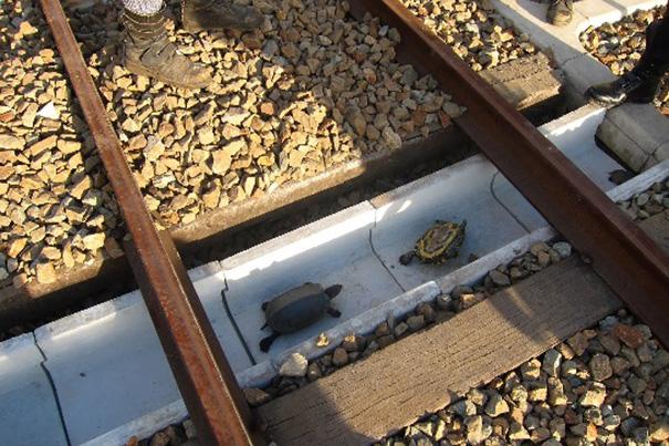 Đường dành riêng cho rùa ở Nhật Bản - 1