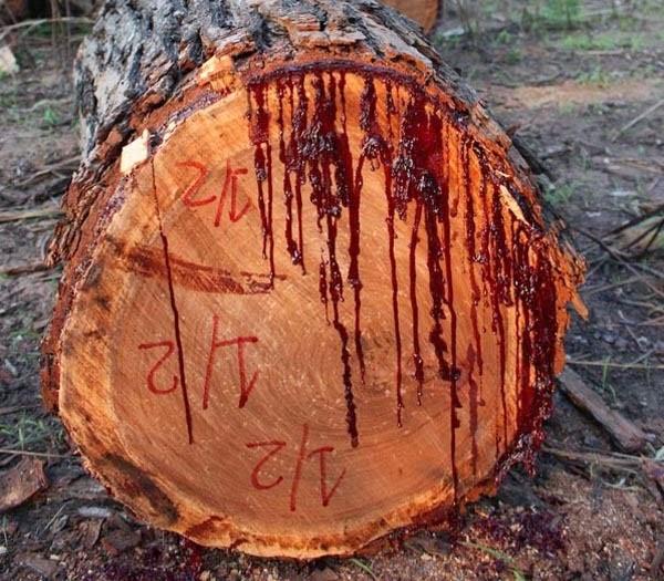 Kinh hãi: Loài cây chảy nhựa như máu ở châu Phi - 3